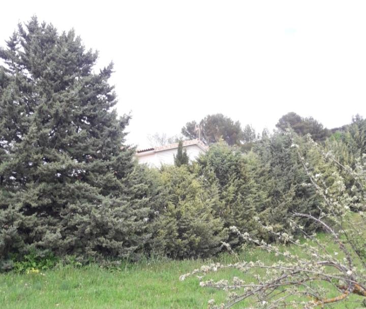 ciprés de arizona
