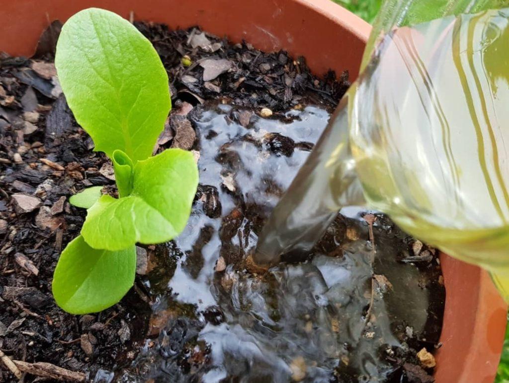 lechuga y fertilizante