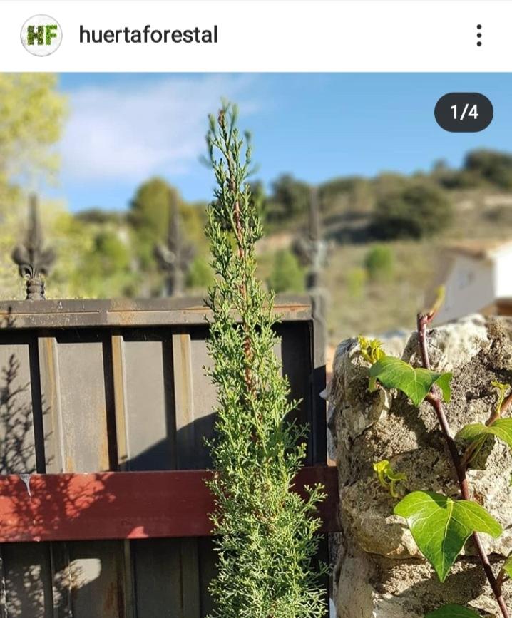 ciprés arizonica