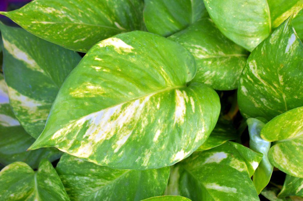 planta trepadora de interior poto