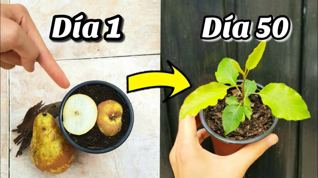 metodo para germinar y sembrar peras desde semilla y su evolucion varios meses del árbol