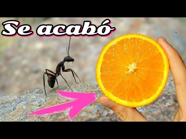 como acabar con las hormigas con cascaras de cítricos