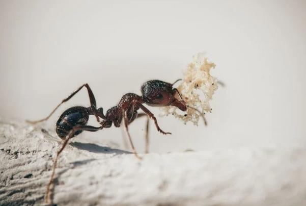combatir hormigas con método ecológico y orgánico
