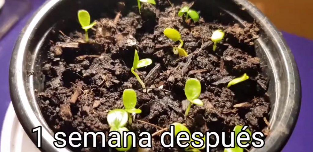 plantas de maracuya recién nacida con cotiledones