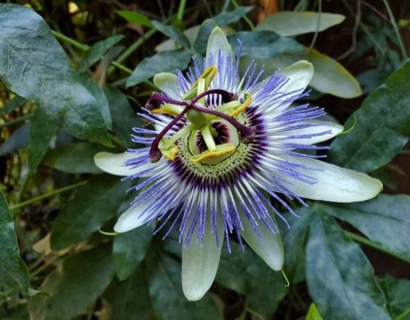 flor de la planta maracuya en una maceta
