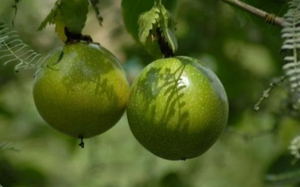 frutas de maracuya en la planta en una maceta