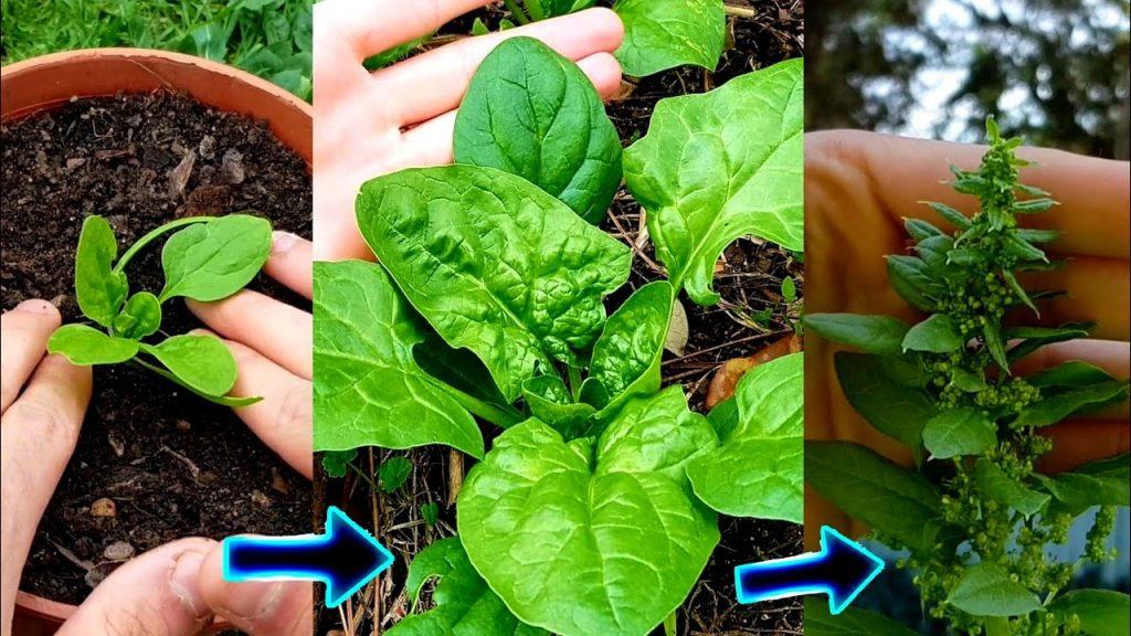 cultivo completo de las espinacas