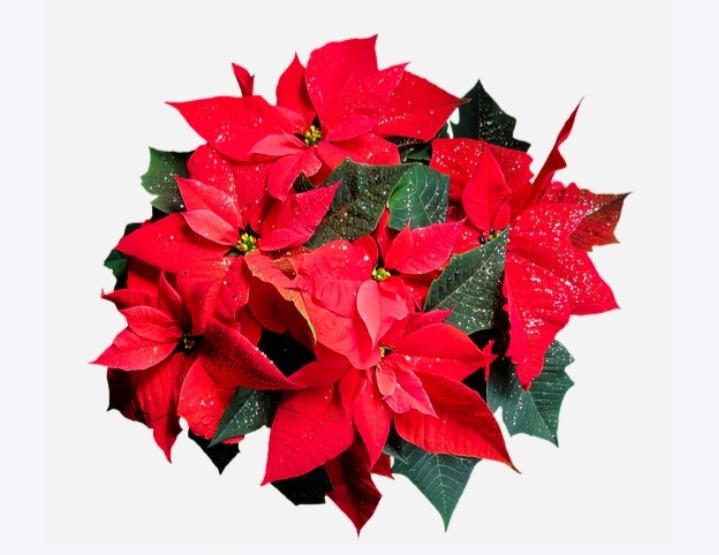 cuidar flor de Navidad y en verano.