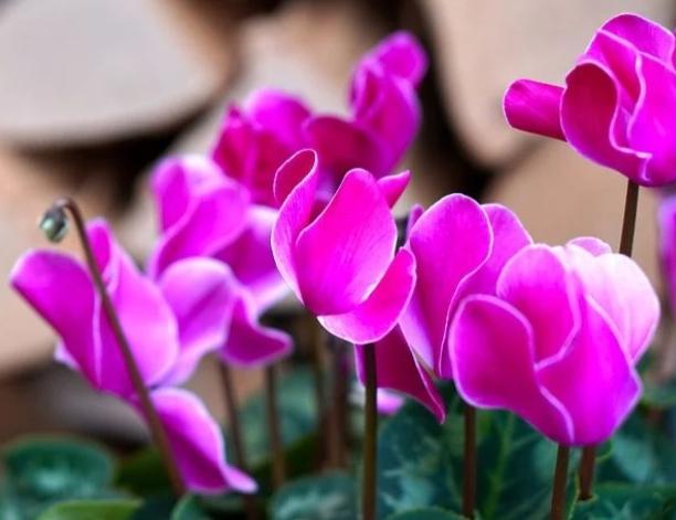 ciclamen en maceta con flores rosas