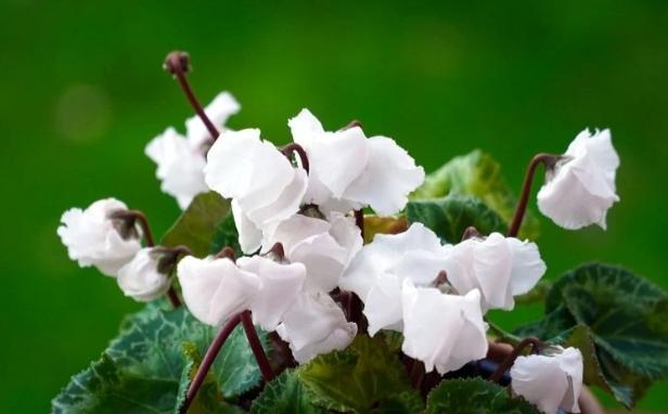 cyclamen con flores blancas