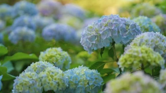 hortensias azules y como cuidarlas