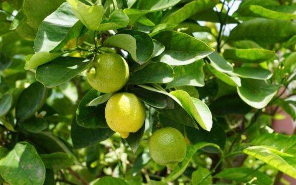 árbol de limones en maceta