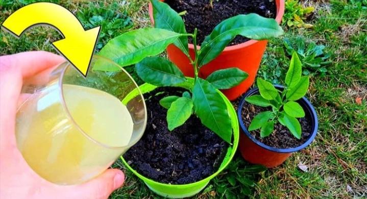 abono casero de citricos