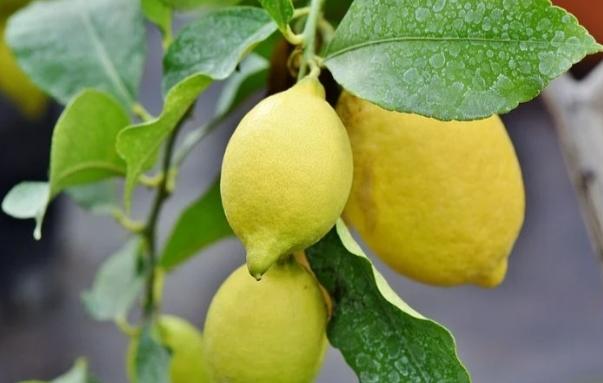 limones en arbol
