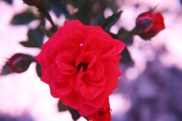 rosa en miniatura roja