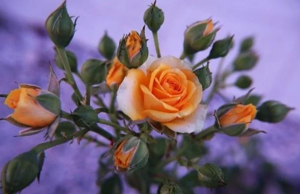 rosal mini amarillo