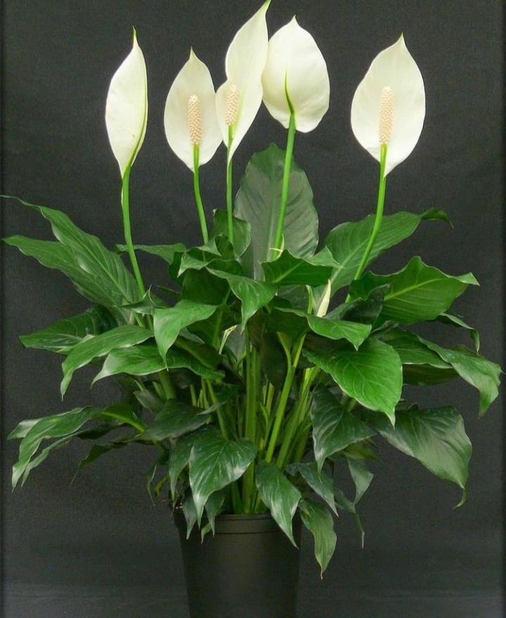 planta spathiphyllum en mactea