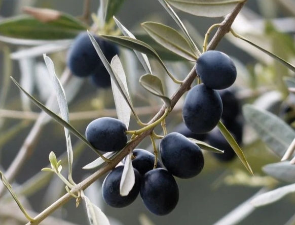 aceitunas en olivo